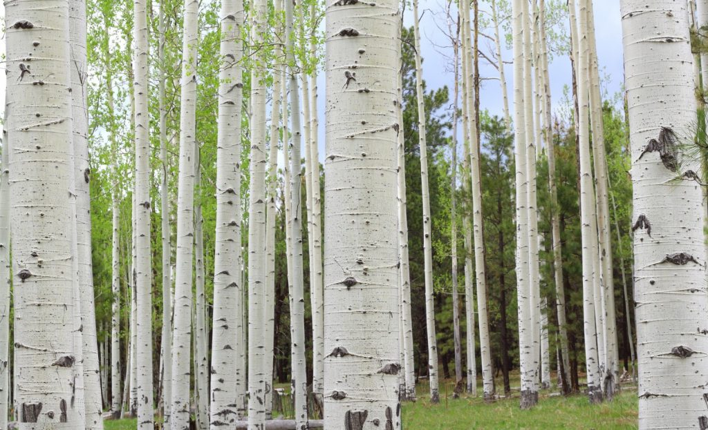 The stand: Why Aspen trees remind me of Illinois Baptists